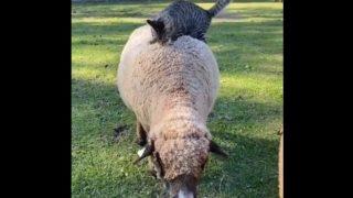 """羊で""""ふみふみする""""ニャンコ"""