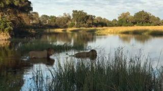 泳ぐライオン兄弟に迫るワニ