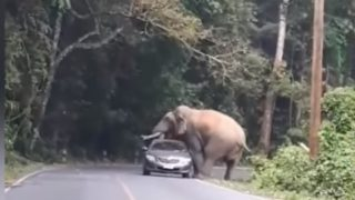 タイの山岳道路で野生のインド象にボディスラムされるトヨタ車