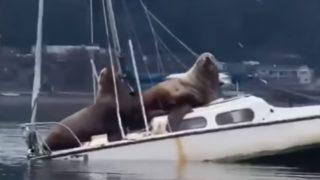 「海のギャング」と呼ばれた巨大海獣、ヨットをシージャック