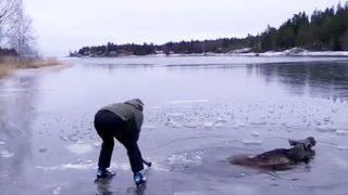 凍った湖に落ちたヘラジカの救出に「あまりにも無謀な方法」で挑むお姉さん
