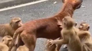 サル軍団にグルーミングを頼むワンコ
