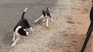 郵便ポストを誘導しようとする牧羊犬(見習い中)
