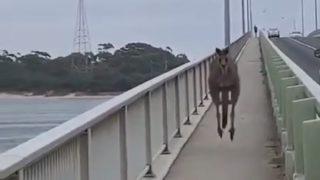 遵法精神のあるカンガルー