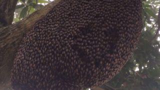 【海外の反応】見事な集団行動で敵を威嚇するミツバチ