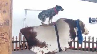 【海外の反応】「噛みすぎても、噛まなくてもダメ」牛のスペシャリスト・牧牛犬