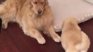 【海外の反応】『ママのベッドに潜り込め!』おバカな子犬のステルス潜入大作戦