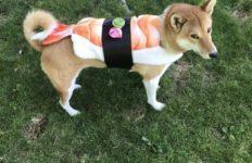【海外の反応】日本犬に似合う?ハロウィーン・コスチュームに複雑な反応を見せるシバイヌ