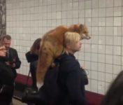 【海外の反応】毛皮は「生きてる方が暖かい…」とあるロシア人女性の通勤風景