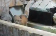 【海外の反応】動物園の檻から脱走したやんちゃな子猫に悪戦苦闘するオオヤマネコの母猫