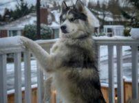【海外の反応】朝から外で雪を食べてるハスキーに、いいかげんに家に入るように言ったら…
