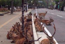 【海外の反応】路上に横たわる奈良の鹿に対する海外の反応