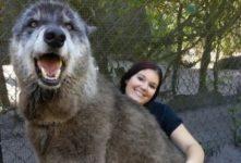 """【海外の反応】捨てられたオオカミ犬""""ユキ"""""""