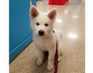 【海外の反応】海外で暮らす秋田犬たちの日本名