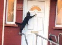 【海外の反応】朝帰りしてドアをノックするニャンコ