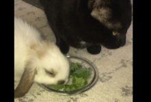 【海外の反応】友達のウサギのためにレタスを食べるふりをする猫