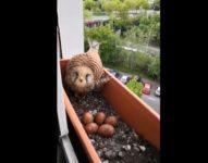 【海外の反応】出張先のホテルの窓辺にパッチリお眼目がメチャかわいいハヤブサが巣を作っていた!