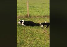 【海外の反応】「最も頭がよい犬種」の笑える子育て風景