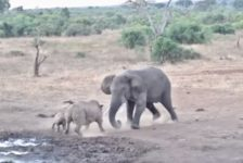 【海外の反応】恐怖!!サイの親子を踏みつぶそうとする怒れるアフリカゾウ