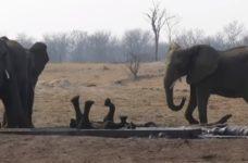 【海外の反応】感動!!給水路に落ちて動けなくなった小ゾウを母ゾウに代わりに助けようとするビッグママ!