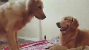 【海外の反応】父親になった現実と向き合う犬