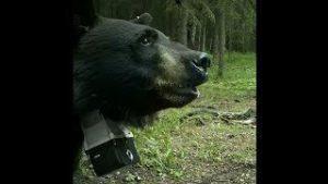 【海外の反応】シベリアンハスキー、キャンプ場に現れた子連れのクロクマを撃退する