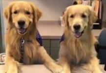 【海外の反応】アメリカ人の好きな犬・不動の第三位を維持するあの犬が看板犬だったら…