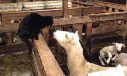 【海外の反応】無実のヒツジを平手打ちした黒猫、逆襲の頭突きをくらう!