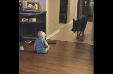 【海外の反応】赤ちゃんの遊び相手を完璧にこなすジャーマンシェパード