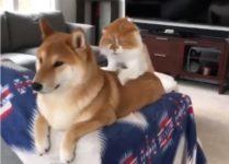 【海外の反応】落ち着きがないシバイヌをマッサージする迷惑顔の猫