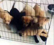 【海外の反応】「子犬パワー!」ケージごと母親に突進する子犬のみなさん
